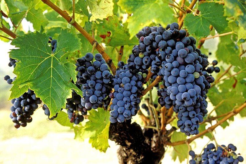 Vendangeur dun jour du Caveau des Vignerons de Valvignères