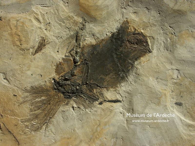 Muséum de lArdèche : fossiles et dinosaures